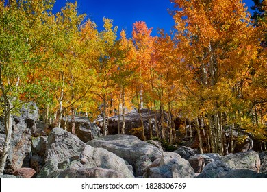 Aspen trees in the Fall at Bear Lake in Rocky Mountain National Park
