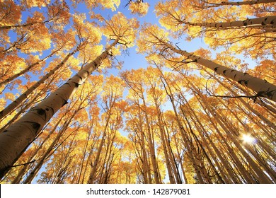 Aspen trees with fall color, San Juan National Forest, Colorado, USA