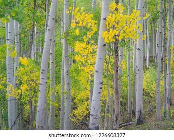aspen trees in fall colors near Turquoise lake, Leadville, Maroon Bells; Aspen, Colorado
