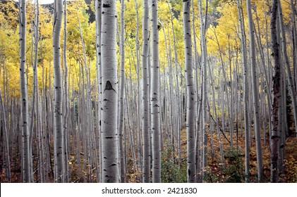 aspen trees in fall october
