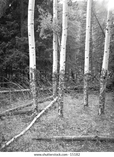 Aspen trees found in the forest.