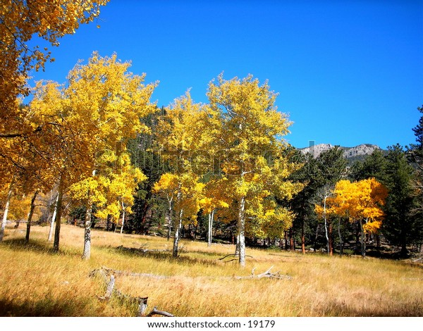 Aspen trees in full fall color with clear blue sky, pine trees in background.