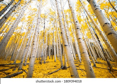 Aspen trees with golden yellow fall colors in the autumn mountains of Flagstaff, Arizona on the Inner Basin Trail
