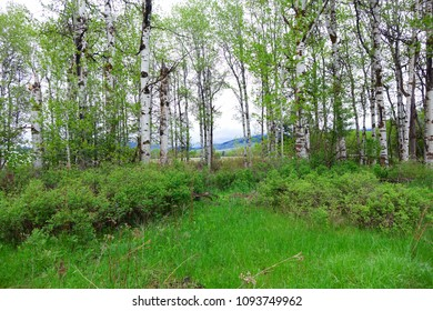 Aspen trees in a grassy field at Clay Flat near Missoula, Montana.