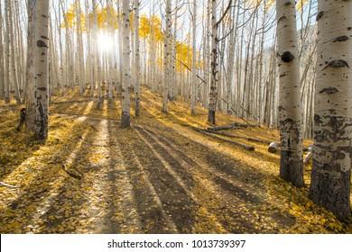 Aspen trees in Locket Meadow, Flagstaff AZ Beautiful wide angle landscape