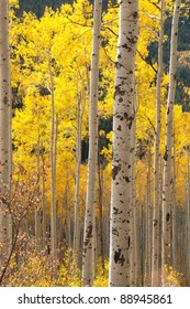Aspen Trees near Aspen Colorado, USA.