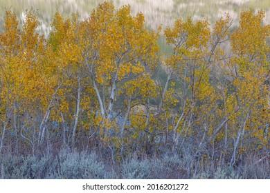 Aspen Trees, Parker Lake, Ansel Adams Wilderness, California