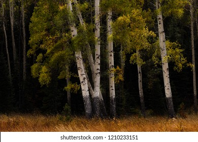 Aspen trees in Rocky Mountains National Park Colorado USA
