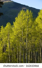 Aspen trees in summer in the Rocky Mountains