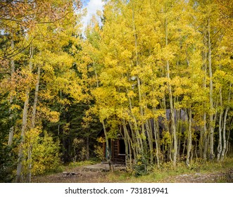 Aspen Trees Surround an old Mining Cabin in Autumn - Colorado Rocky Mountain Scenic Beauty