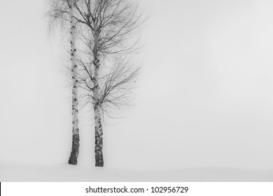 Aspen trees in winter, white background, abstract composition