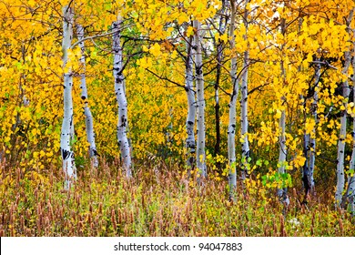 Aspen trunks surrounded by yellow leaves