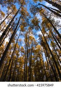 Aspens in Fall, Kenosha Pass, Colorado.