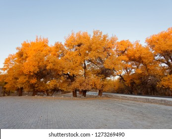 Asphalt road in golden populus euphratica trees in early morning, Ejina in the autumn. Landscape of the Populus euphratica scenic area in Ejina, Inner Mongolia, China.
