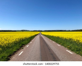 Asphalt road thru fields of rapeseed with clear blue sky and green trees in the horizon.
