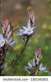 Asphodel flower in spring, mediterranean plant also call asphodelus