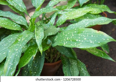 Aspidistra elatior or cast-iron-plant or bar room plant with spotted leaves in pot