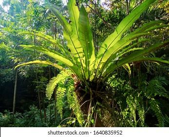 [Asplenium nidus] Bird's nest fern on tree