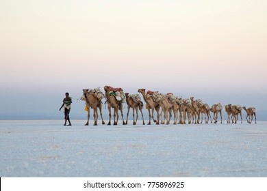 Assale, Afar Region, Ethiopia. 11/28/2017. Camel caravans of the Etiopian salt mines. Around 2,000 camels and 1,000 donkeys come to the salt flat every day to transport the salt tiles