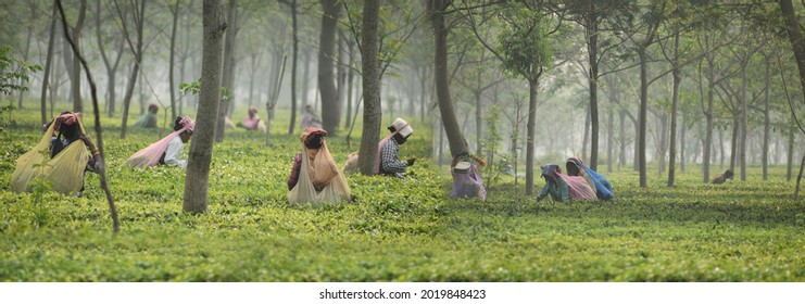 Assam - India  20th March 2021, Indian Tea Garden workers of Assam working in the middle of tea estate. They are officially referred as Tea-tribes by Government of Assam