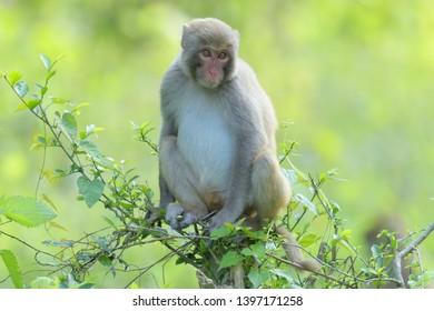 Assam Macaque (Macaca assamensis) in Kaziranga National Park, Assam, India