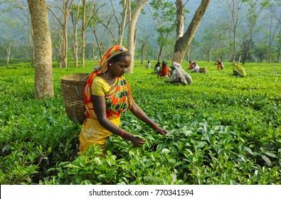 Assam North East ,India, April, 21,2008:   Harvesting,Rural women  workers plucking  tender tea shoots in gardens of Assam, North East, India
