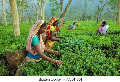 Assam North East India April, 21,2008:   Harvesting,Rural women  workers plucking tender tea shoots in gardens of Assam,North East, India