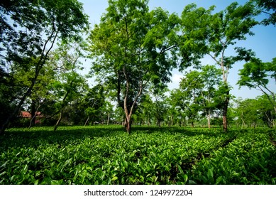 Assam Tea Garden grown in lowland and Brahmaputra River Valley, Golaghat district, Assam state, India, focus at foreground.