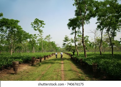 Assam Tea Garden grown in lowland and Brahmaputra River Valley, Golaghat district, Assam state, India.