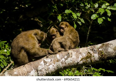 assamese macaque ,infant monkey