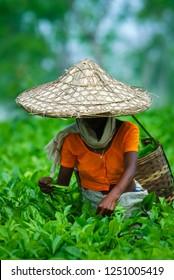 Assamese tea picker at work, Assam Tea Garden grown in lowland and Brahmaputra River Valley, India.