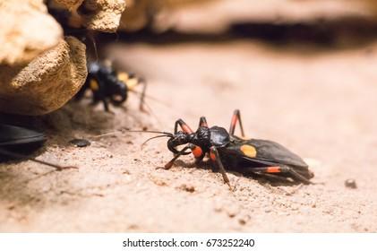 Assasin Bug (Platymeris sp. Mombo) in the terrarium.