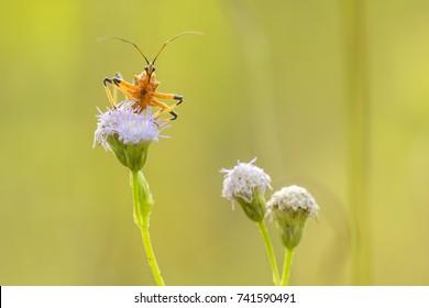 Assasin Bug with purple flower