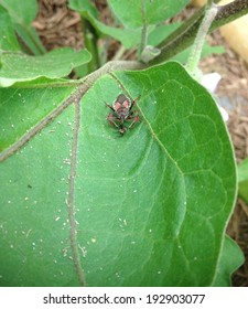 Assassin bug attacks its prey, assassin eating nymph, Texas predator on an Eggplant.