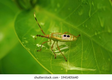 Assassin bug in closeup on a green leaf