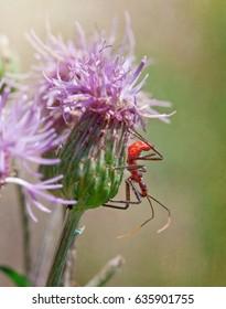 Assassin Bug On Thistle