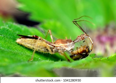Assassin bug with its prey