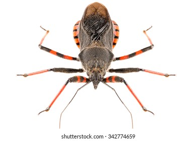 The assassin bug Rhynocoris annulatus isolated on white background, head-on view