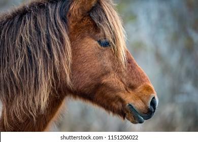 An Assateague wild horse in Maryland