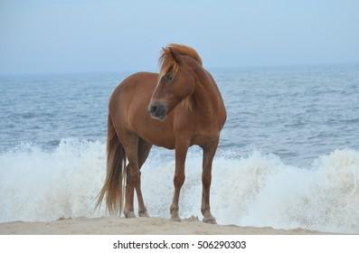 Assateague wild pony standing near the surf on the Atlantic Ocean