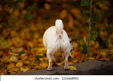 Asshole of white dog in autumn forest.