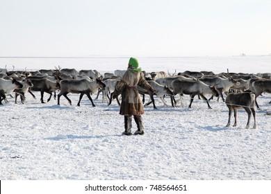 assistant reindeer breeder.