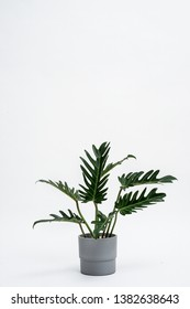 Assort Direct Split Leaf Philodendron Plant in concrete like bucket. white back ground