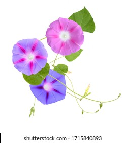 assorted colorful morning glory (ipomoea) flower vine