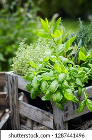 Assorted fresh herbs growing in pots in a rustic wooden crate outdoors in the garden for use in cooking or alternative medicine, basil in the foreground