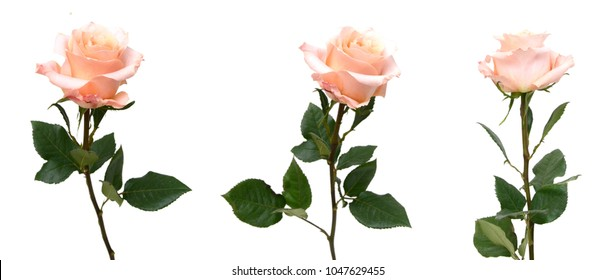 Assorted pink rose branches isolated