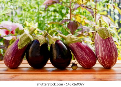 Assortment of fresh picked dark purple and graffiti striped eggplant (aubergine) and cherry tomato on wooden surface against garden background with pink hibiscus flowers on sunny day. Horizontal.