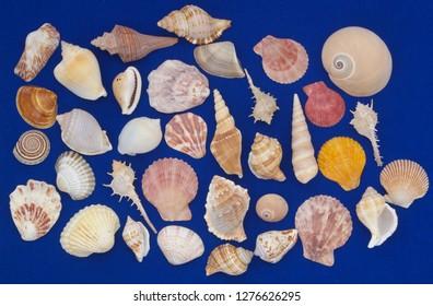 Assortment of many tropical seashells on blue background
