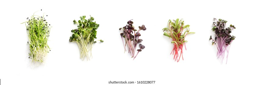Assortment of micro greens. Growing kale, alfalfa, sunflower, arugula, mustard sprouts, panorama, Healthy lifestyle concept