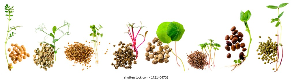 Assortment of micro greens. Set micro greens sprouts and seeds, Growing kale, alfalfa, sunflower, arugula, mustard sprouts. Healthy lifestyle, stay young and modern restaurant cuisine concept